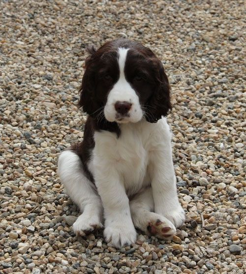 Springer Spaniel Puppies