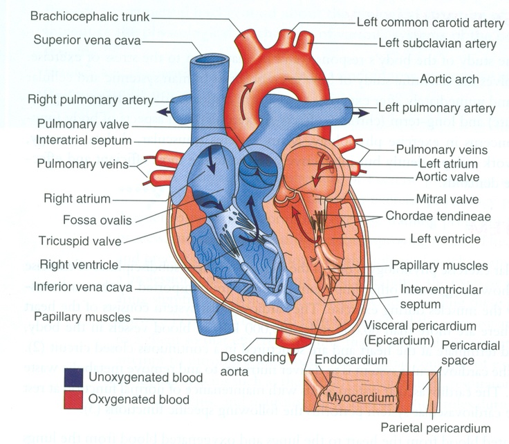 What makes for a first-rate heart diagram?