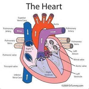 diagram of the heart – cv soon, Muscles