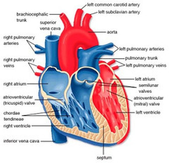 diagrams of human heart – citybeauty, Muscles