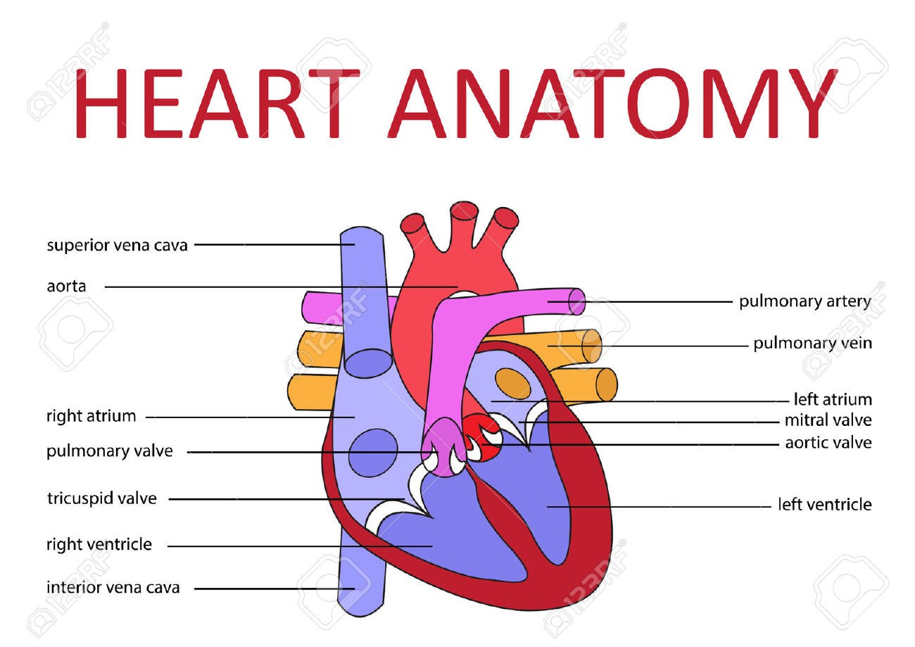What makes for a first rate heart diagram Obfuscata