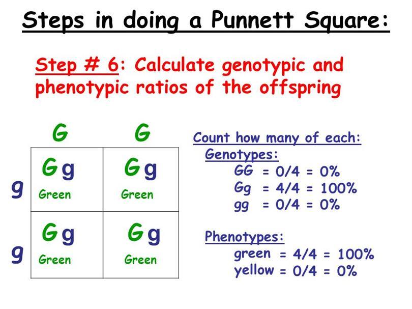 punnett square calculator