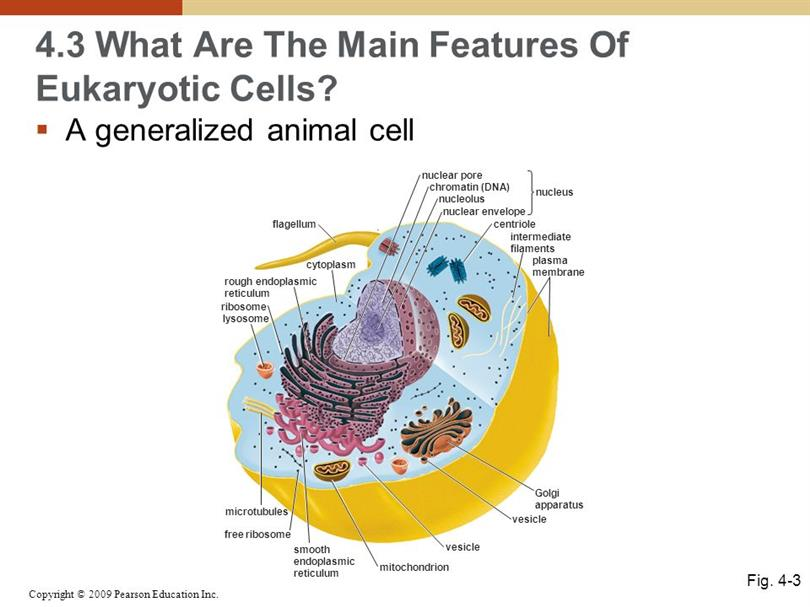 Animal cell features ccuart Image collections