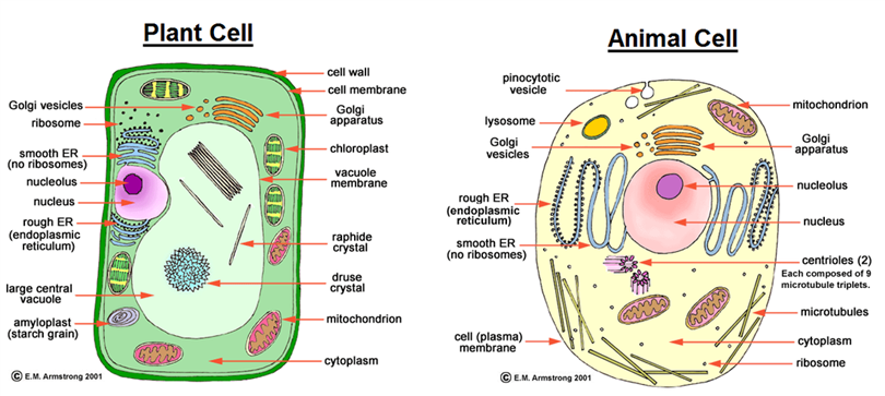 Differences between animal and plant cell animal and plant cell ccuart Images