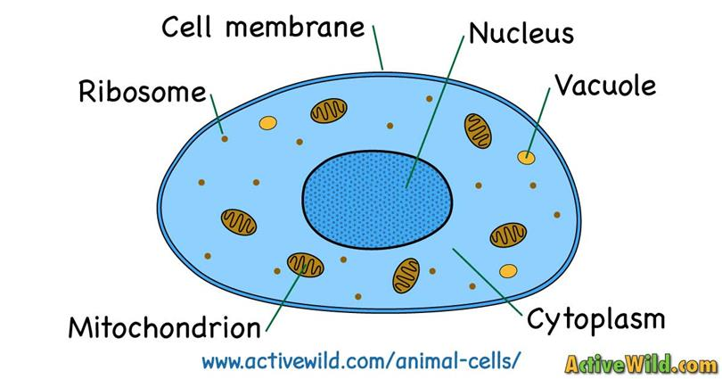 Anatomy of animal cell