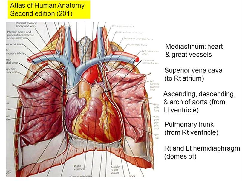 Exelent Vena Cava Photos - Human Anatomy Images - fullthreadahead.com
