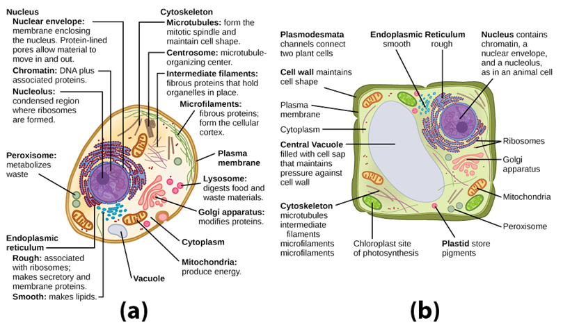 Differences Between Animal and Plant Cell
