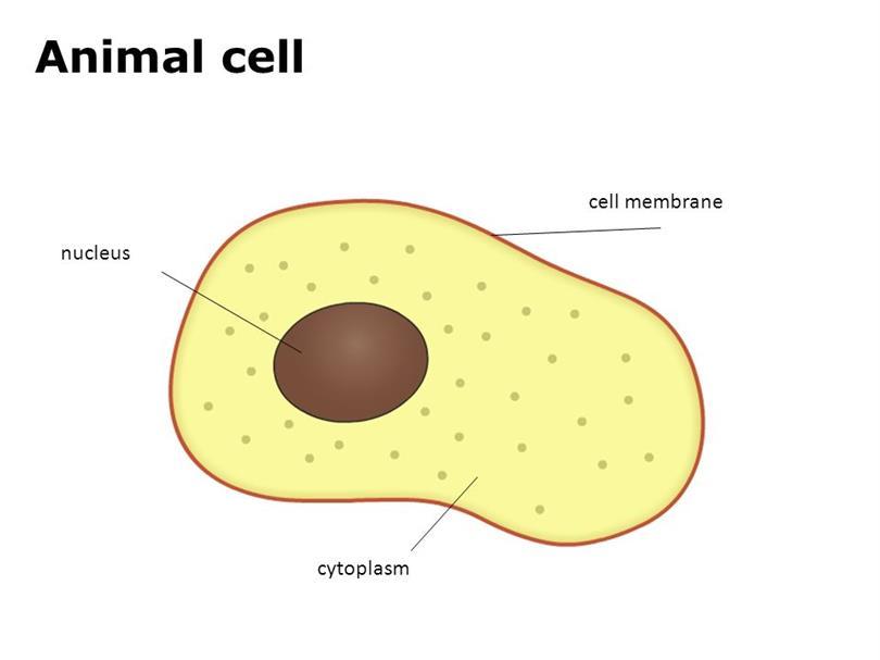 Animal Cell Anatomy